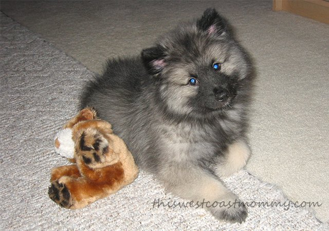 Look at that face! 9-week-old keeshond puppy