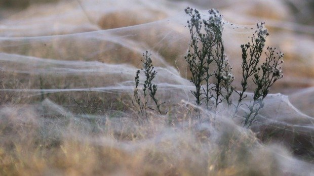 Fields are covered in spiderwebs amid rising floodwaters in Wagga Wagga. Photo: Reuters